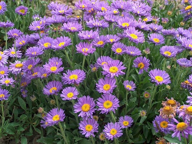 Aster astro settembrino il giardino degli angeli - Aster pianta ...