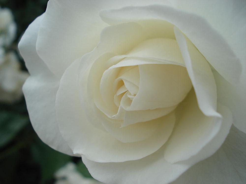 Fiori Bianchi Tipo Rose.Rose Il Giardino Degli Angeli