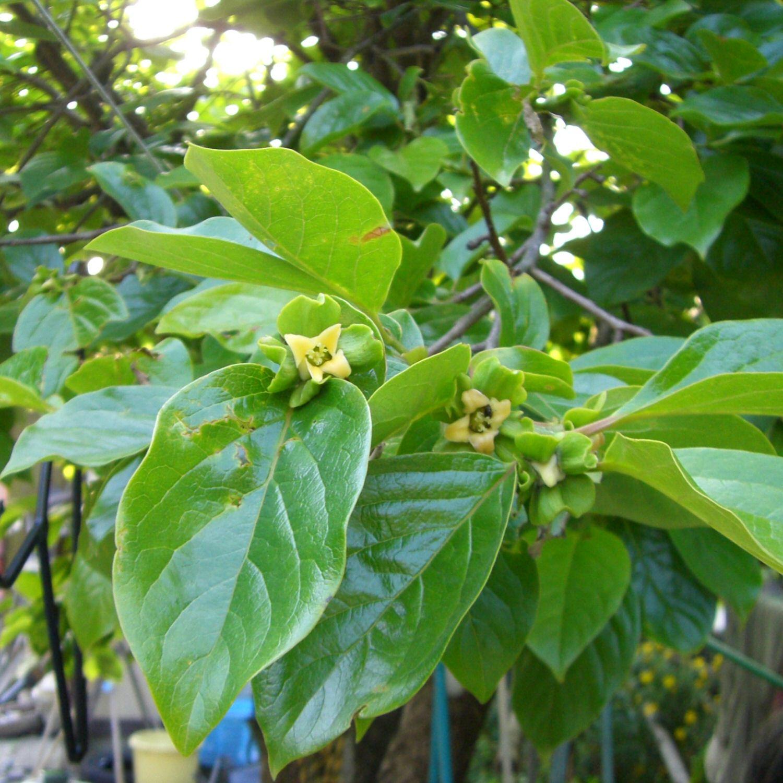 Caco o cachi diospiro il giardino degli angeli for Albero di cachi