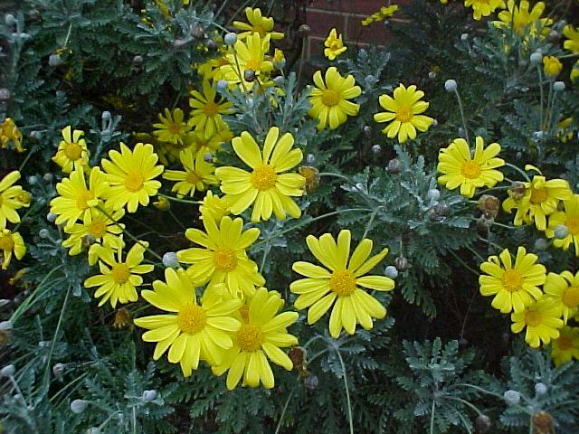 Euryops pectinatus il giardino degli angeli for Margherita pianta