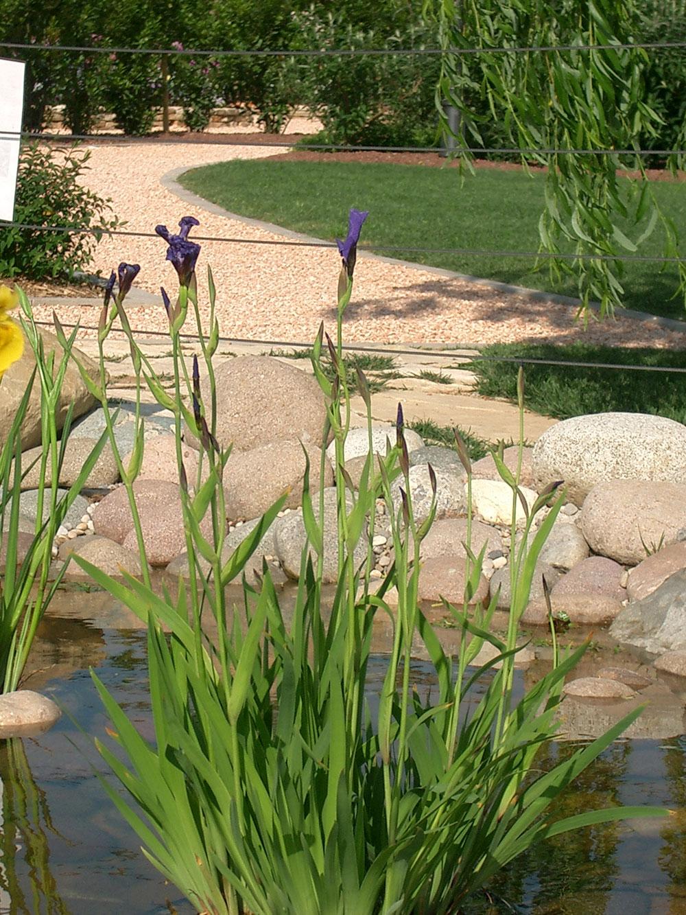 Iris setosa il giardino degli angeli - Il giardino degli angeli ...