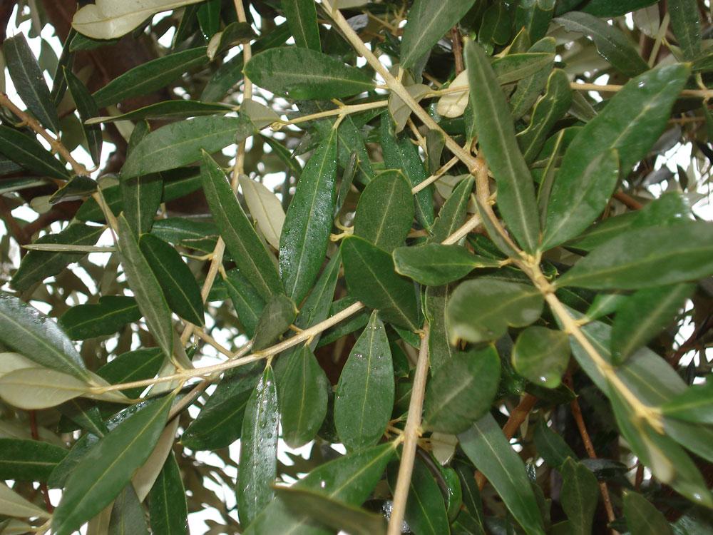 Ulivo olivo il giardino degli angeli for Acquisto piante ulivo