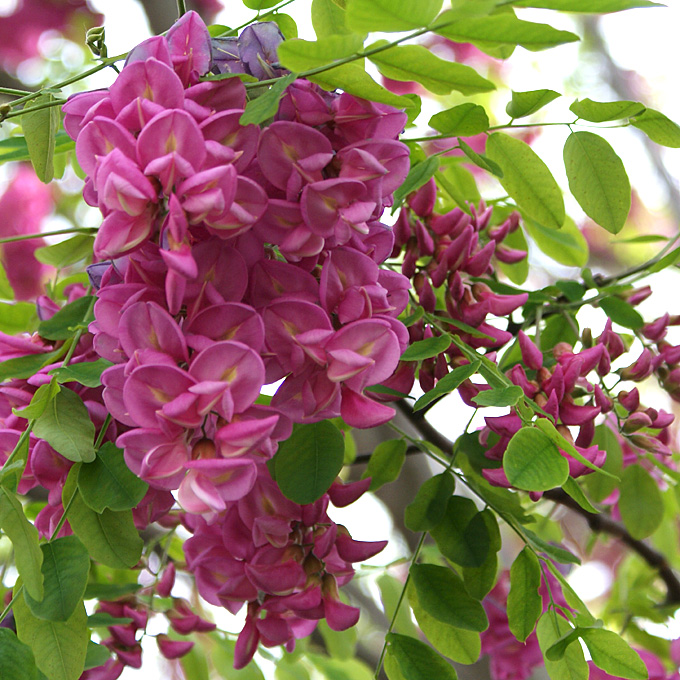 Robinia acacia falsa acacia gaggia il giardino degli for Acacia albero