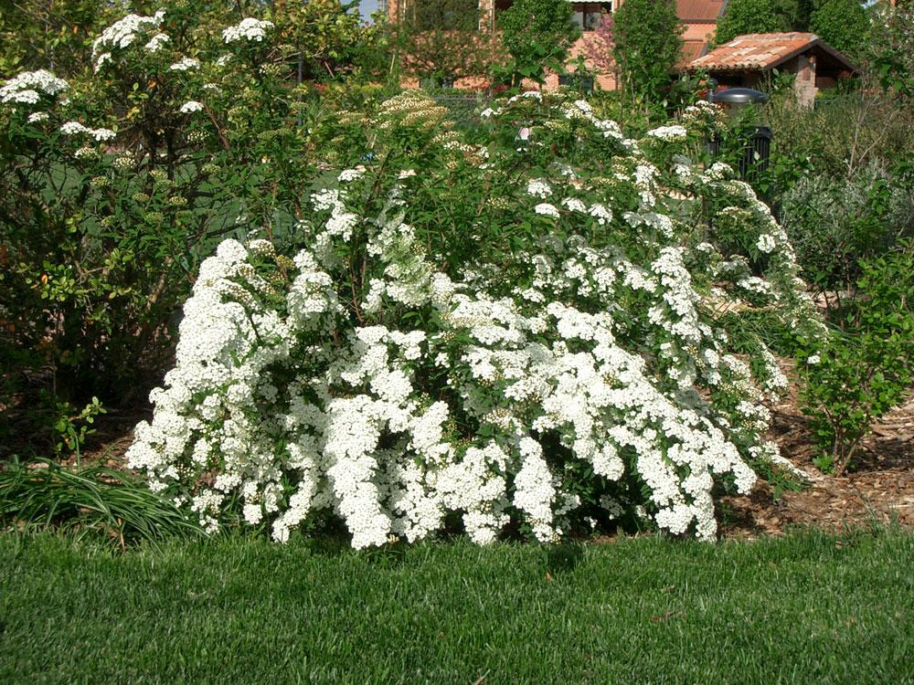 Spirea il giardino degli angeli for Cespugli fioriti da giardino