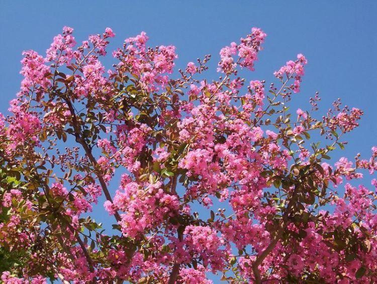 Lagestroemia indica il giardino degli angeli for Arbusto dai fiori rosa e bianchi