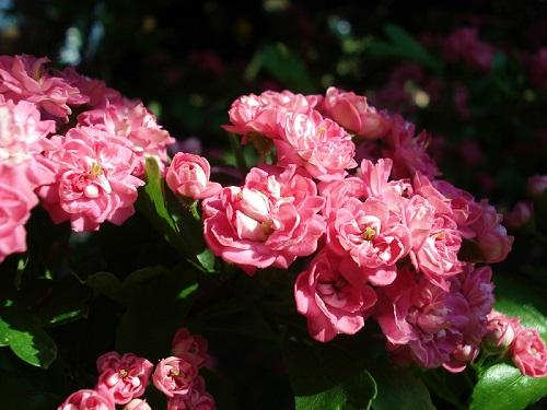 Il Giardino degli Angeli crataegus laevigata flore pleno