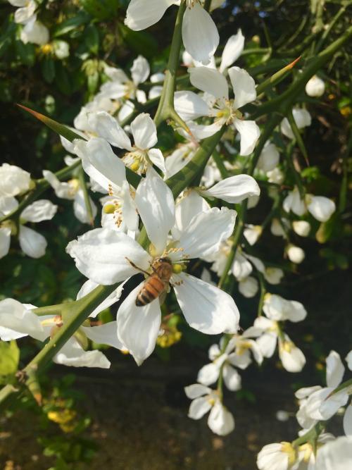 fiore poncirus trifoliata