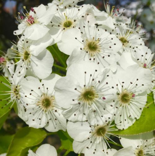 fiore pyrus calleryana chanticleer