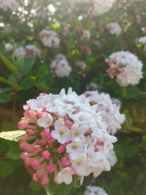 viburnum carlesii fioritura
