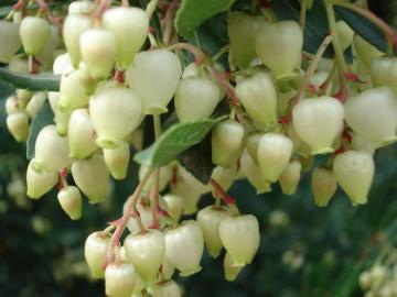 Arbutus-Unedo-particolare-dei-fiori.jpg