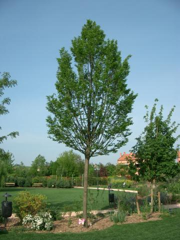 Carpinus Betulus.JPG