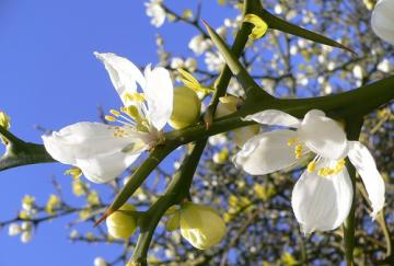 Citrus Triptera particolare di rami e fiori.jpg
