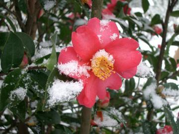 Fiore Camelia Sasanqua.JPG