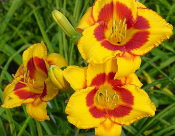 Hemerocallis Fooled Me.jpg