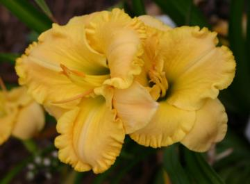 Hemerocallis My Darling Clementine.jpg