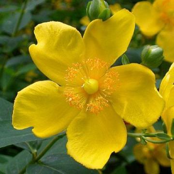 Hypericum patulum Hidcote particolare del fiore.jpg