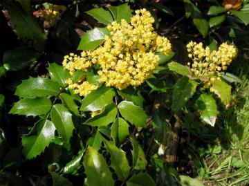 Mahonia_aquifolium particolare del fiore.jpg