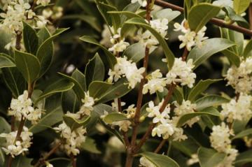 Osmanthus Aquifolium.jpg