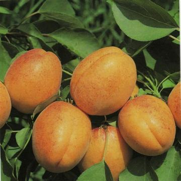 Prunus Armeniaca i frutti.jpg