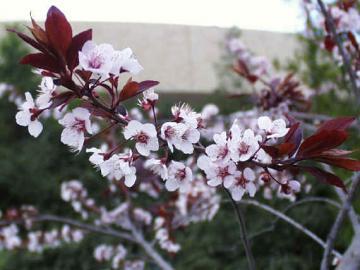 Prunus Cerasifera Pissardi fiori.jpg