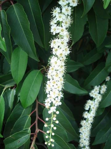 Prunus-Lusitanica-particolare-del-fiore.jpg