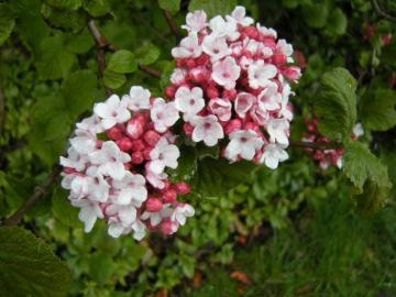 Viburnum carlesii.jpg