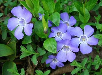 Vinca minor particolare dei fiori.jpg