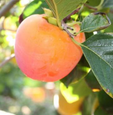 diospyros-kaki frutto.jpg