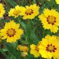 Coreopsis-Lanceolata.jpg