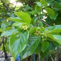 Diospyros_kaki_foglie e fiori.jpg