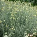 Helichrysum-Italicum.jpg