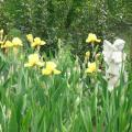 Iris-Barbate.jpg