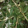 Olea-europaea-foglie.jpg