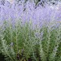 Perovskia Atriplicifolia arbusto fiorito.jpg