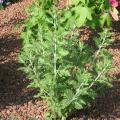 Perovskia-Atriplicifolia.jpg