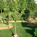 Prunus-Armeniaca.jpg