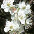 Prunus-Domestica particolare dei fiori.jpg