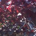 Prunus_cerasifera Pissardi il fogliame.jpg