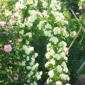 Rosa-Banksiae-Alba-Plena.jpg