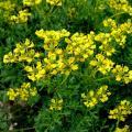 Ruta graveolens fiori.jpg