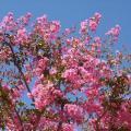 lagerstroemia_indica_la fioritura.jpg