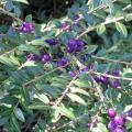 lonicera pileata_particolare dei frutti  (bacche).jpg