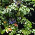 mahonia-aquifolium--particolare-delle-bacche.jpg