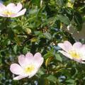 rosa canina i fiori.jpg