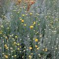 santolina chamaecyparissus.jpg