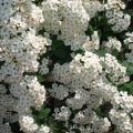 spiraea-fioritura-di-aprile.jpg