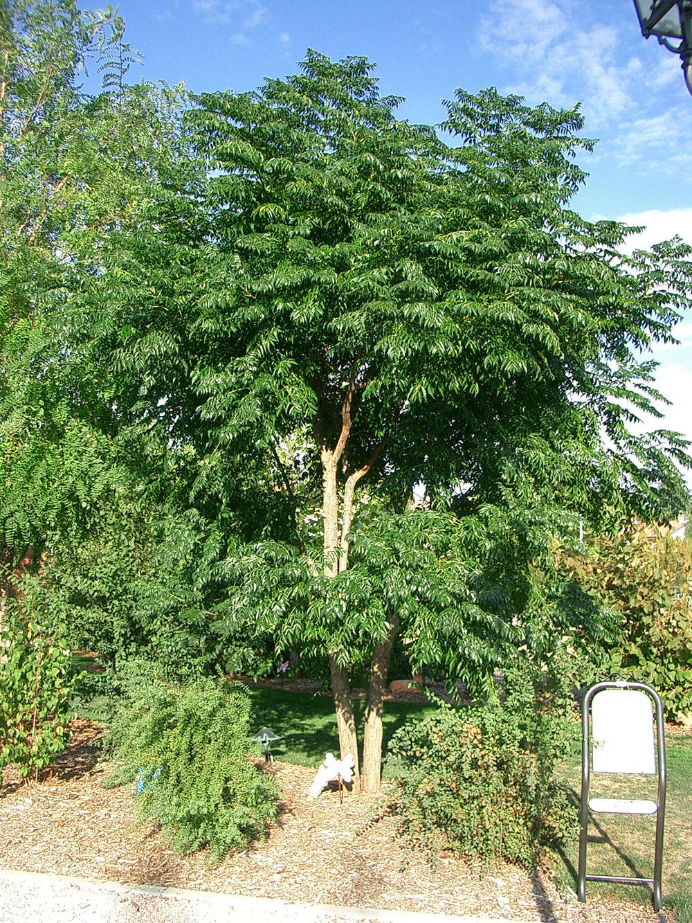 Alberi Ornamentali Da Giardino albero dei rosari, albero dei paternostri | il giardino