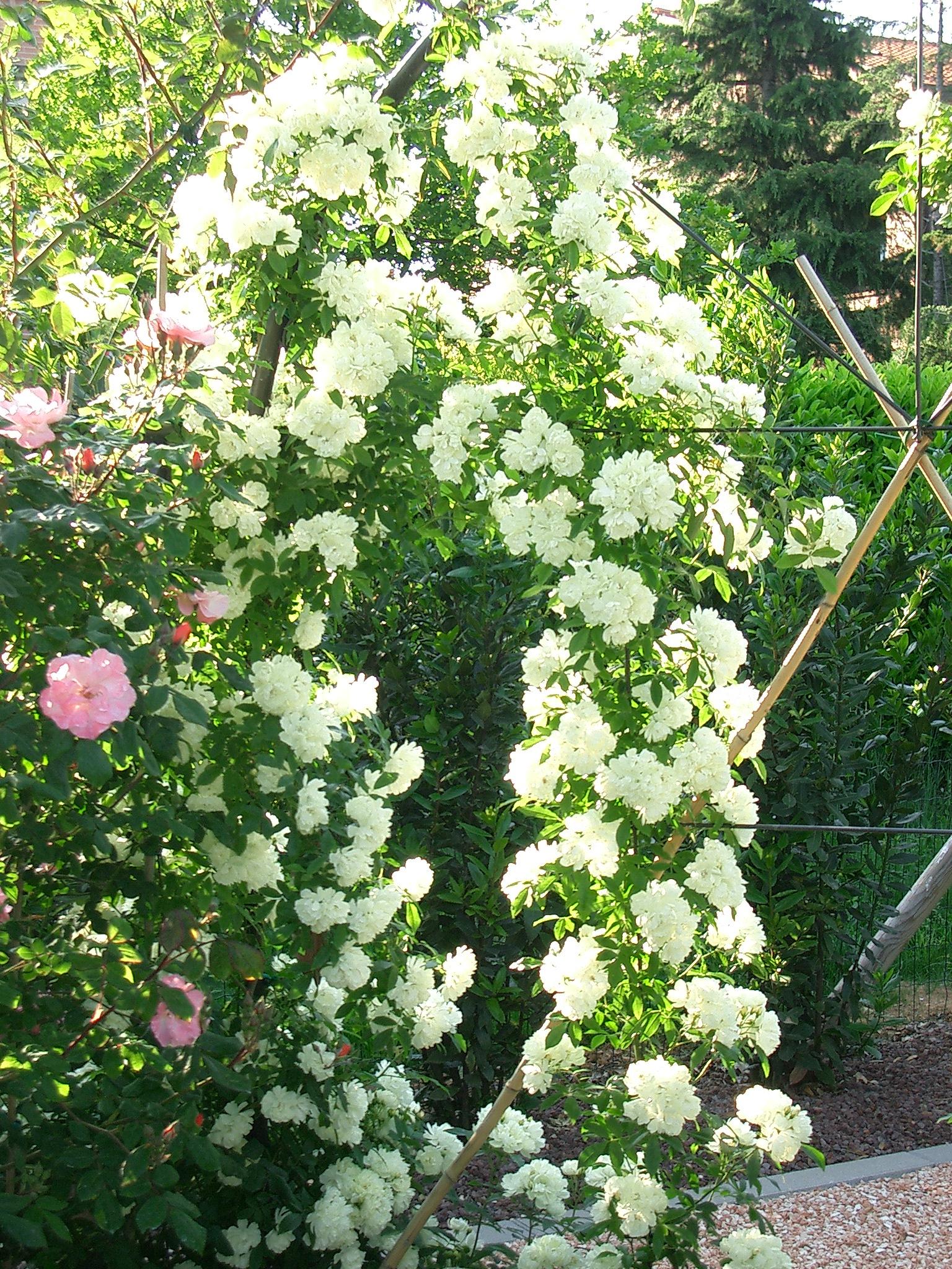 Rosa Rampicante In Vaso rose | il giardino degli angeli