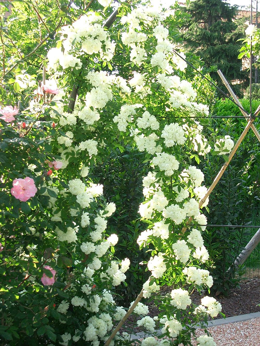 Rose Rampicanti Senza Spine rose | il giardino degli angeli