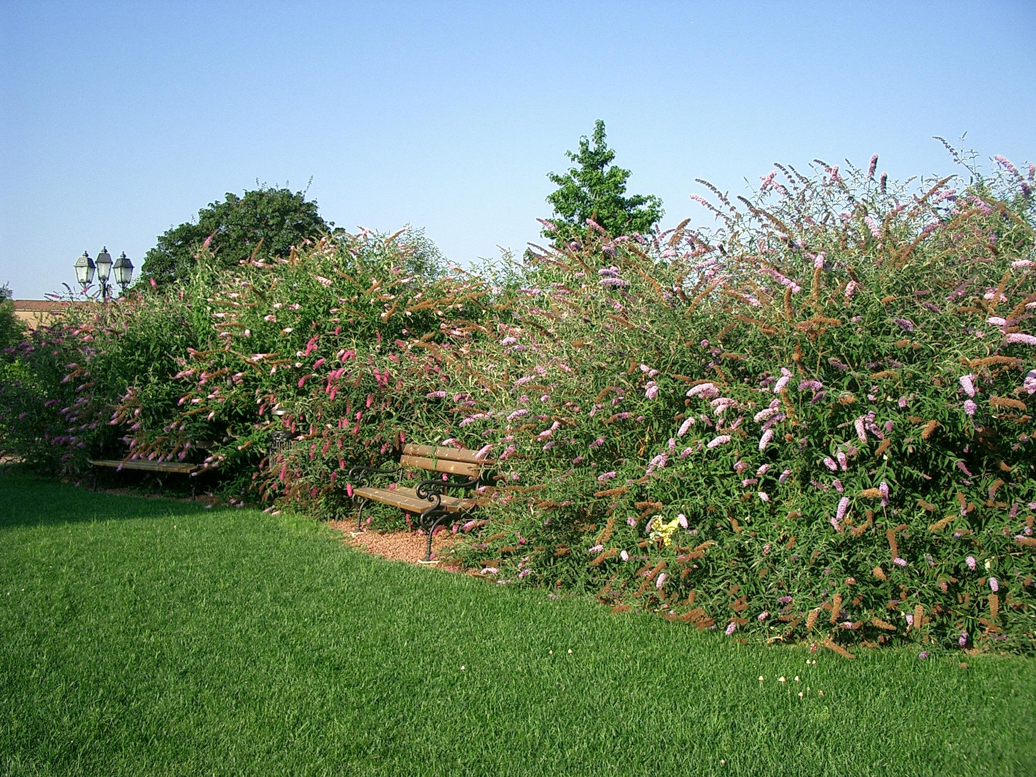 Albero Di Lillà albero delle farfalle, lillà dell'estate | il giardino degli